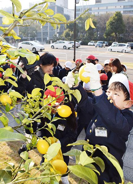 広島市内の小学生らがレモンを収穫