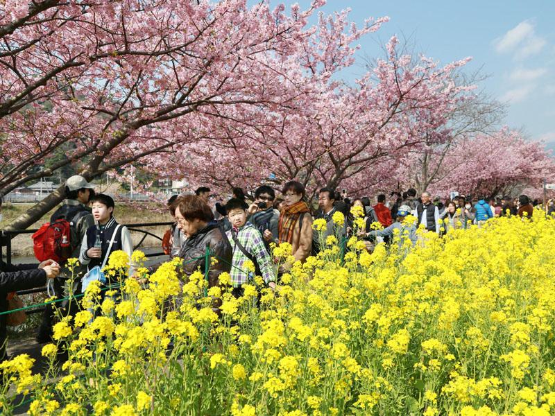 「河津桜まつり」開催、春の彩りの共演