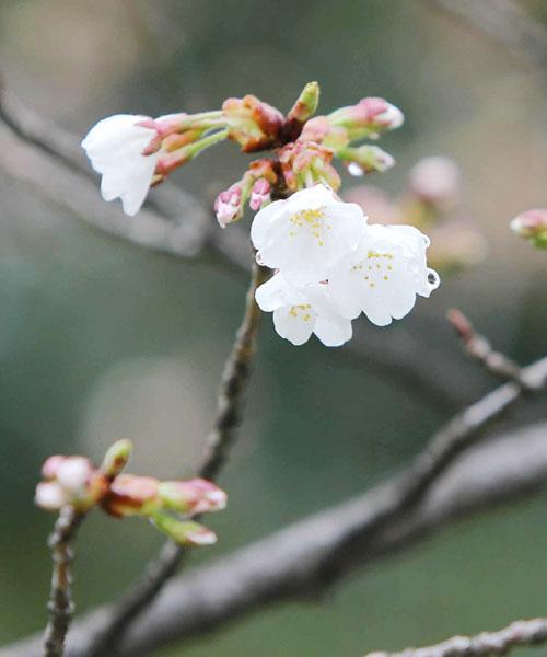 今春全国で初めて、福岡でソメイヨシノが開花