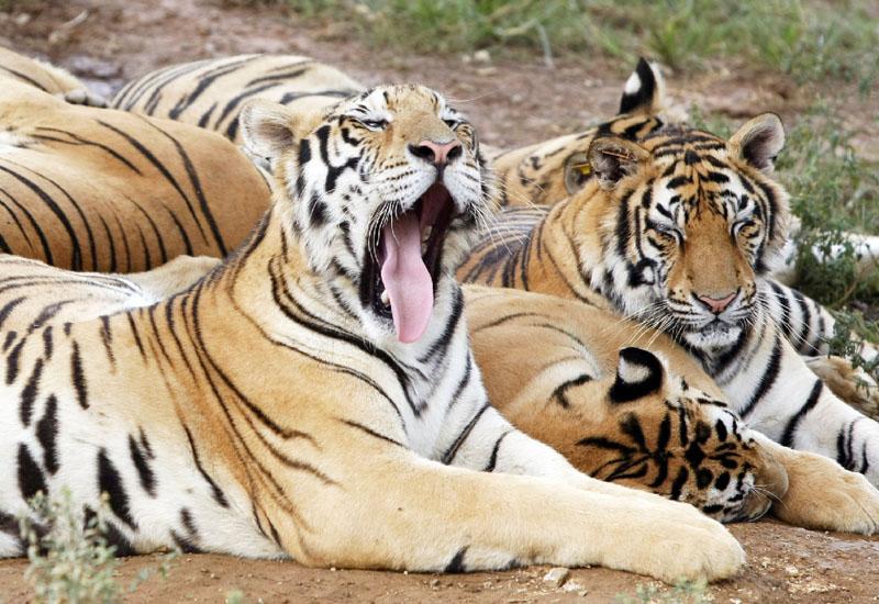 野生のトラの保護活動が奏功、106年ぶり増加