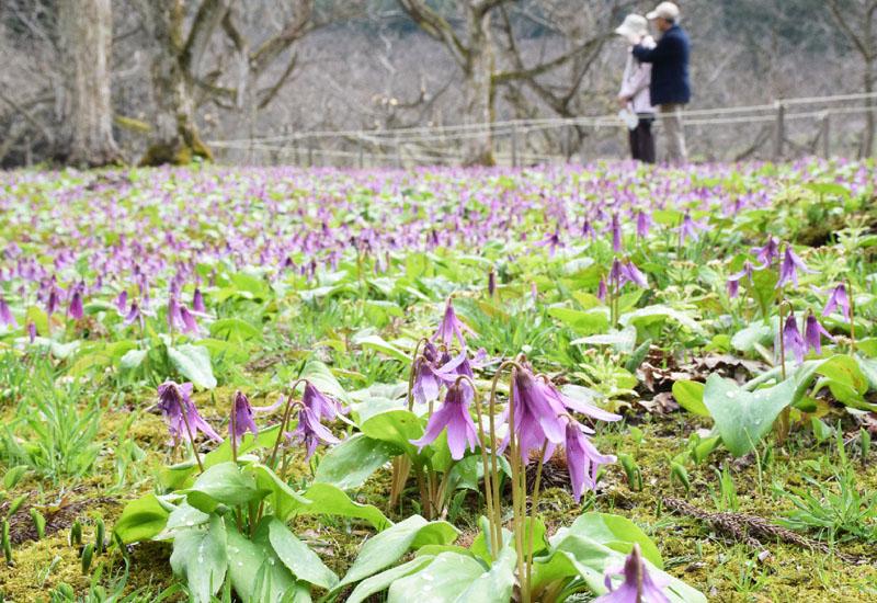 秋田県仙北市で栗園に群生するカタクリが見頃