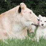 ライオンの赤ちゃん、母のそばなら心配ないさ