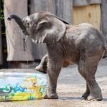 初めての夏、雌の子象「タミカ」の水遊び