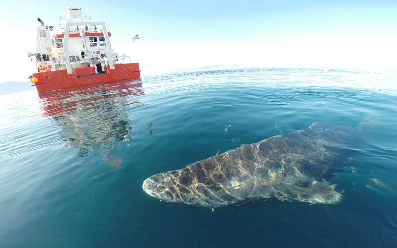 「ニシオンデンザメ」全長5メートルで400歳?