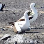渡り鳥や昆虫数種類を小笠原諸島・西之島で確認