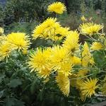 360px-Chrysanthemum_morifolium_j03