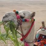 camel-1062424_640