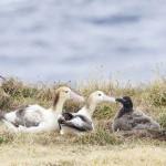 山階鳥類研究所、アホウドリ移住繁殖に成功