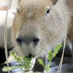 生まれて初めて、カピバラも春の七草で無病息災