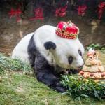 ジャイアントパンダ「バス」に誕生日ケーキ