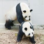 上野のパンダが4年ぶり交尾、強い発情の兆候