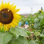 沖縄県平和祈念財団、福島産ヒマワリで迷路を