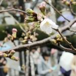 東京で桜が開花、9年ぶりに全国一番乗り