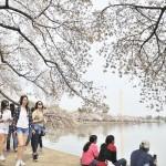 米首都ワシントンの春の風物詩、桜が見頃に