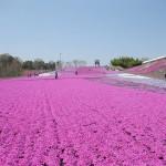 「芝ざくら祭り」開催、本州最大級の面積に25万株