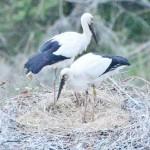 コウノトリが島根県雲南市大東町でも孵化