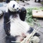 ジャイアントパンダ「シンシン」に妊娠の兆候
