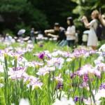 白や紫の700株の花、ハナショウブが見頃