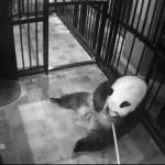赤ちゃんパンダの体長14・3センチ、体重147グラム