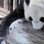 シンシンママの胸に小さな子、パンダは順調