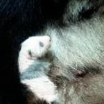 パンダの赤ちゃん、黒い部分がよりくっきり