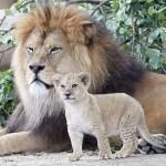 バーバリライオンの赤ちゃんと雄々しい父親