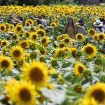 「ヒマワリまつり」開催、10万本が咲き誇る