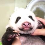 パンダの赤ちゃん生後40日、うっすら両目を開く