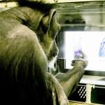 京都大、チンパンジーがじゃんけん学習