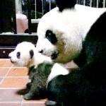 赤ちゃんパンダ3010・4グラム、順調に成長