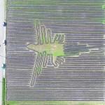 「ナスカの地上絵」が出現、里芋畑の畝で描く