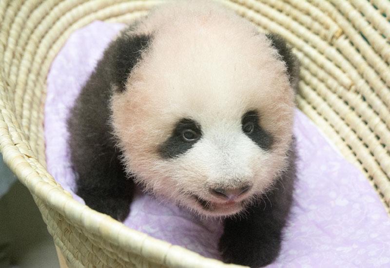 赤ちゃんパンダ誕生3ヵ月、歯が生えてきたよ