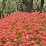 真っ赤なじゅうたん、ヒガンバナが満開