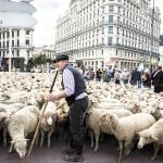 羊たちの「陳情」、オオカミの襲撃が相次ぐ