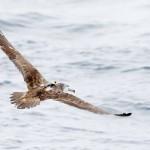 海鳥が横風でも巣へ真っすぐ、体の向きを調整