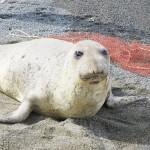 山形県鶴岡市の海岸で北米生息のアザラシが漂着