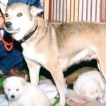 中越地震から13年、3匹の子守った母犬が看板に