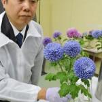 農研機構などが青いキクの花を報道陣に公開