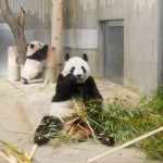 上野動物園、「シャンシャン」を来月一般公開