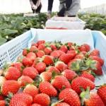 イチゴ生産量日本一、サンタさんより忙しい?
