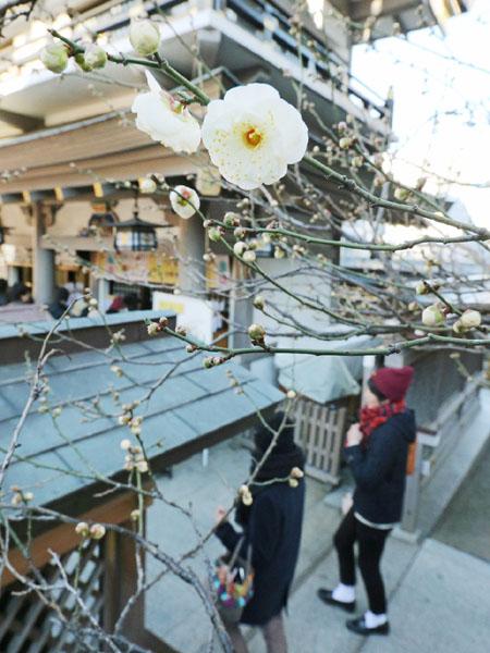 学問の神様・湯島天満宮で早咲き梅が開花