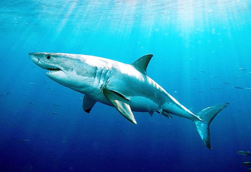ホホジロザメは長生き、従来の推定より3倍以上