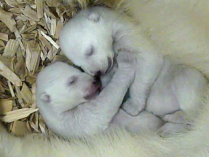 ホッキョクグマの双子、名前が欲しいな