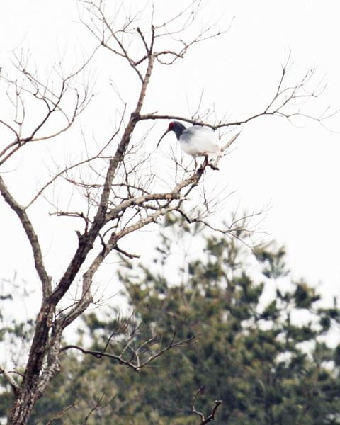 放鳥トキを本州で確認、自然界生まれか