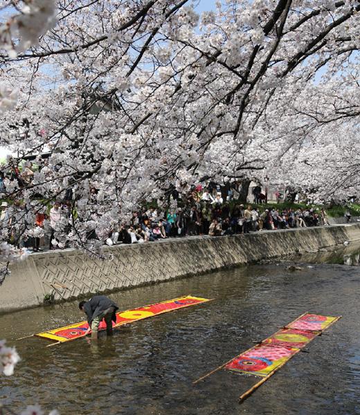 満開の桜の下で「のんぼり洗い」