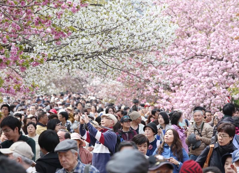 大阪市の造幣局で「桜の通り抜け」が始まる