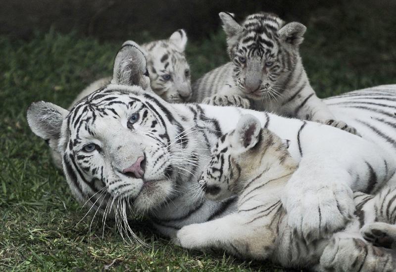 ホワイトタイガーの母子が水入らず