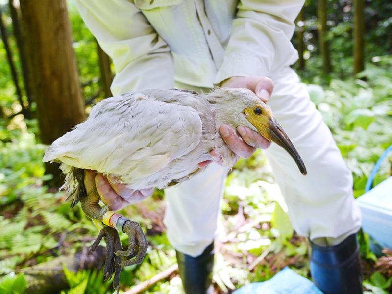 「放鳥トキ3世」に個体識別用の足環を装着