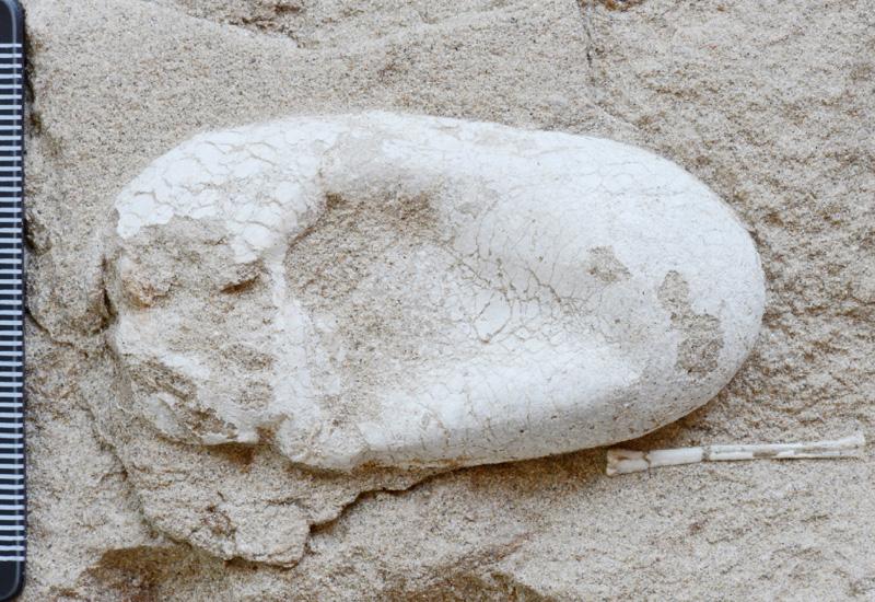 新種翼竜化石と卵も5個、群れで発見