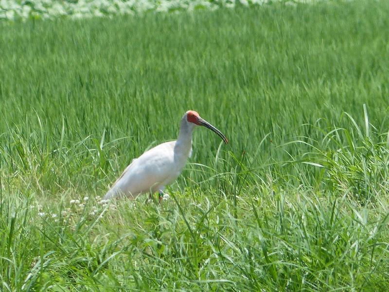 第10次放鳥の1歳雌のトキが新潟本州側で確認